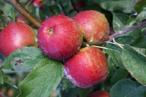 The new apple variety has been on trial for a number of years