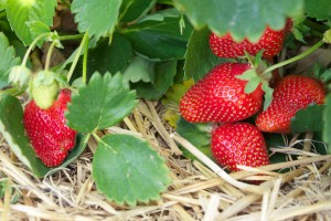 The strawberry season runs from May to October