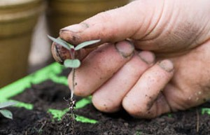 Pricking out seedlings will give them more light and space to grow